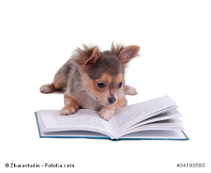 Tiny Chihuahua reading a book